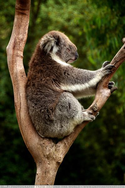 Koala - Phillip Island, Australia